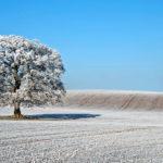 Vinterbild, träd på ett fält.